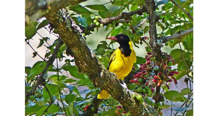 black-headed-oriole-halleria-lucida-wildlife-garden