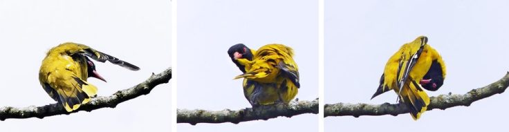 black-headed-oriole-preening-hardwork-wildlife-garden