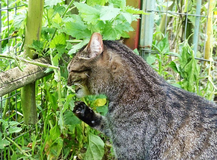 Pet cat eating catnip in enclosed cat garden
