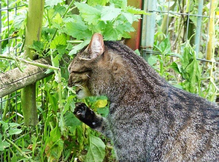 Pet cat eating catnip in enclosed cat garden