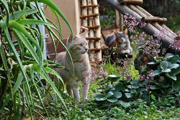 Cats in enclosed cat garden in a suburban wildlife garden