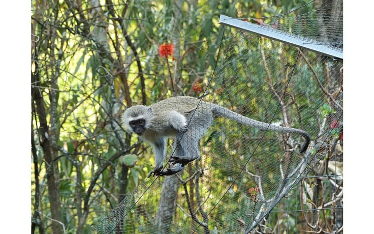 Vervet Monkey watching cats from fence of enclosed cat garden