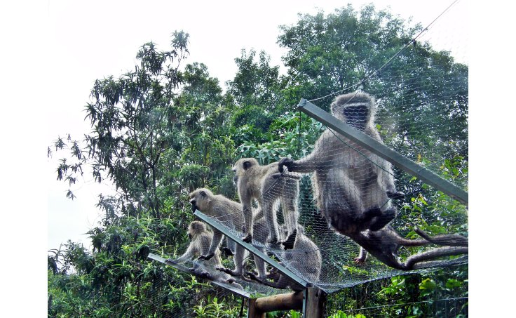 Vervet monkeys on cat enclosure in garden