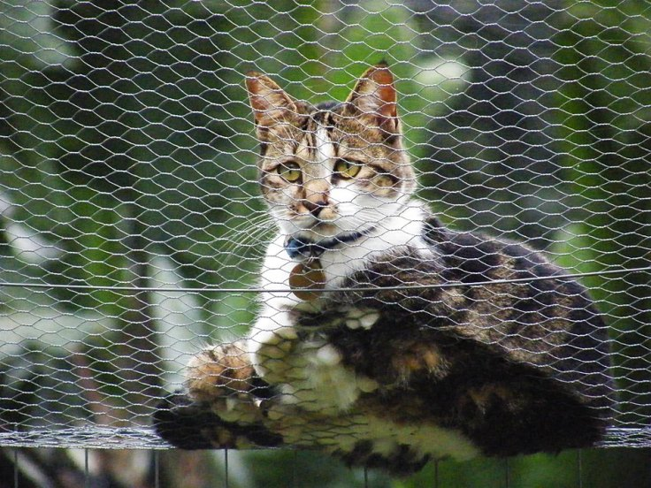 Visiting cat on top of fence of enclosed garden for cats