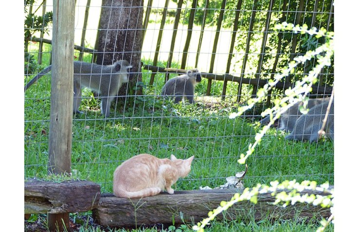 Pet cat watching Vervet Monkeys from garden cat enclosure