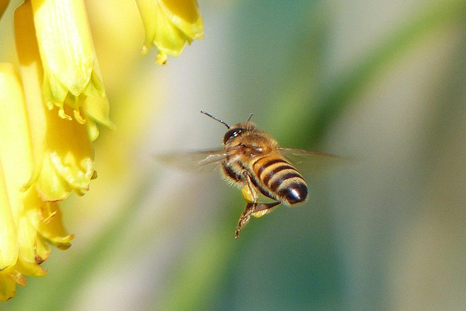 Flower and honeybee in wildlife garden