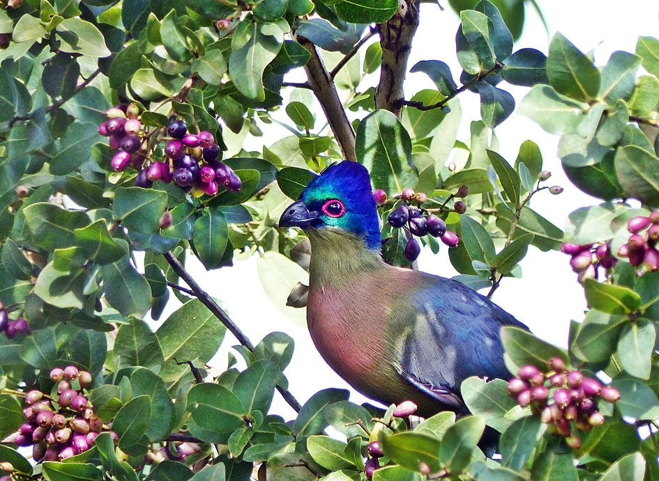 Purple-crested Loerie in umDoni tree