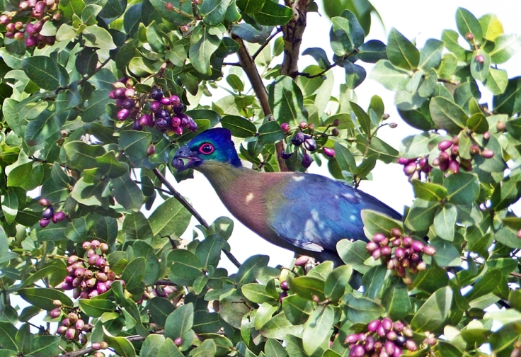 purple-crested-turaco-purple-berries5