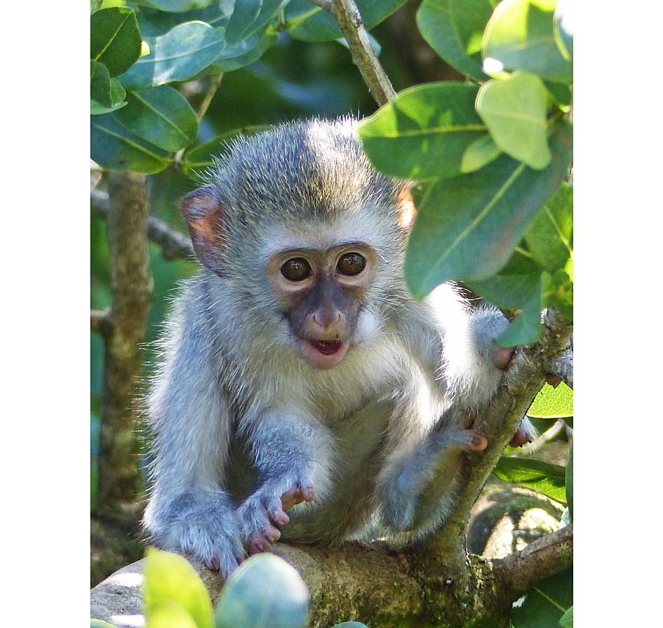 vervet-monkey-baby-umdoni1