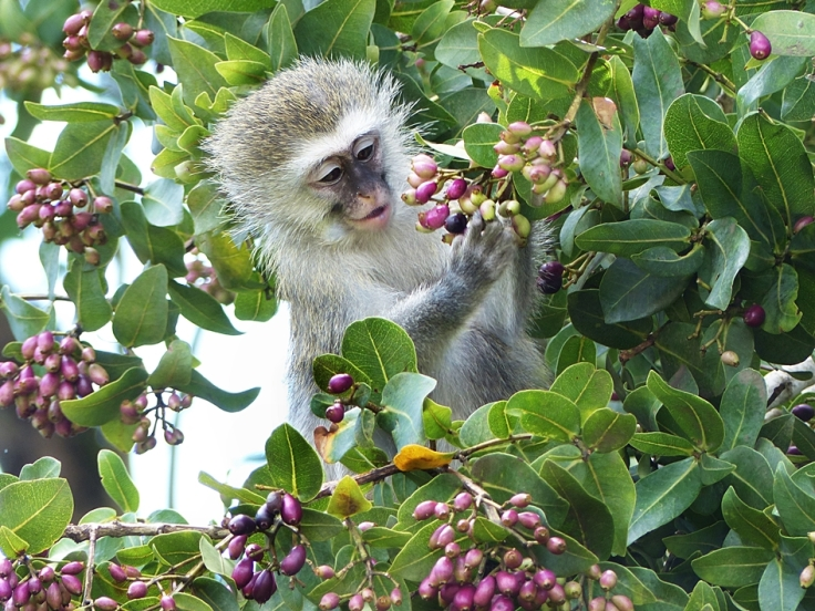 Vervet Monkey eating berries in umDoni tree
