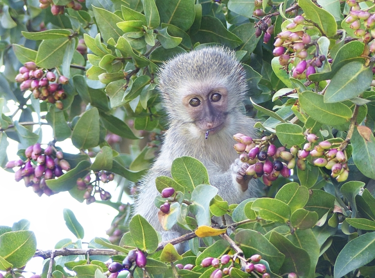 Vervet Monkey foraging in umDoni tree