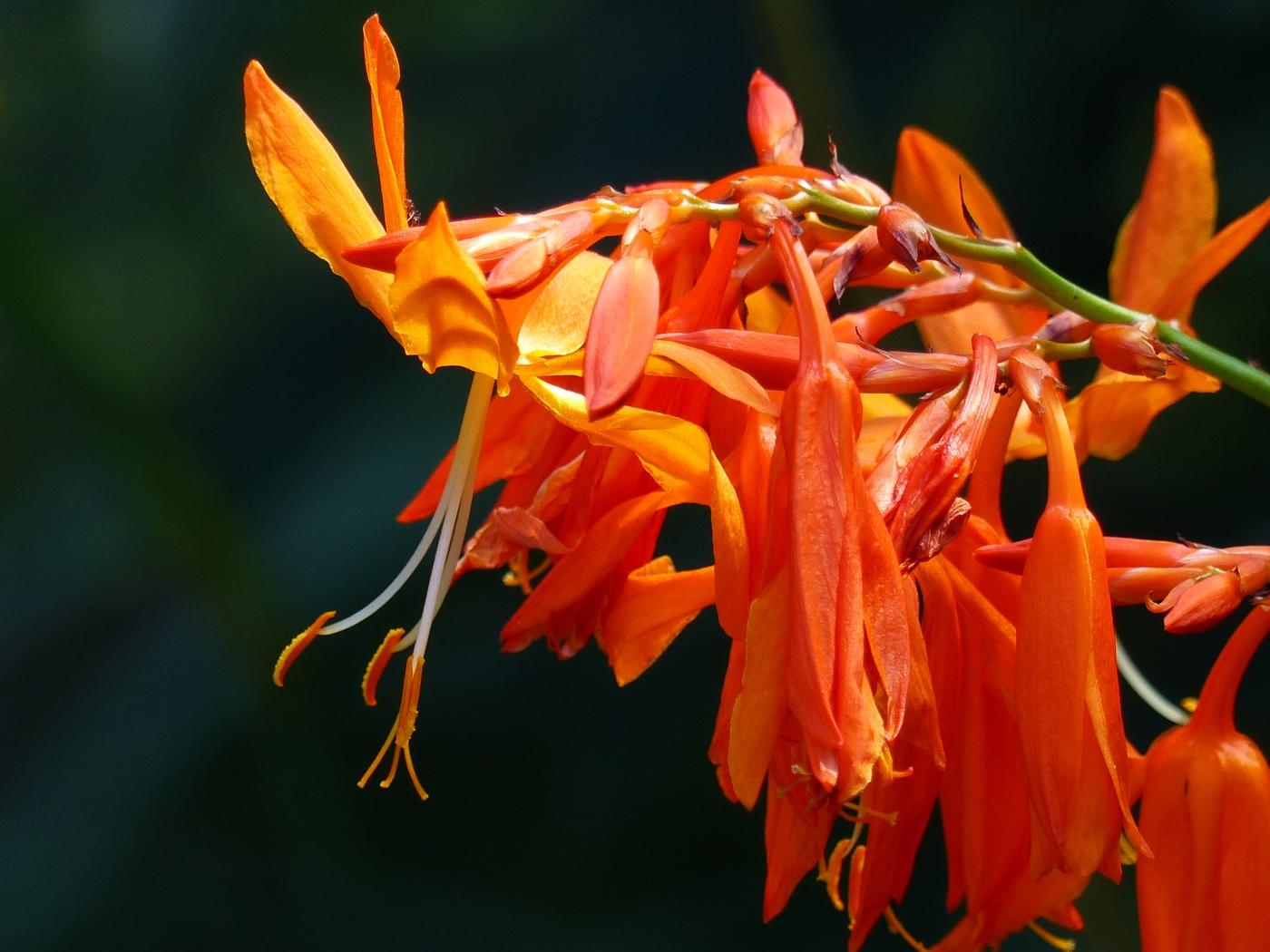 Falling Stars, Crocosmia aurea in flower