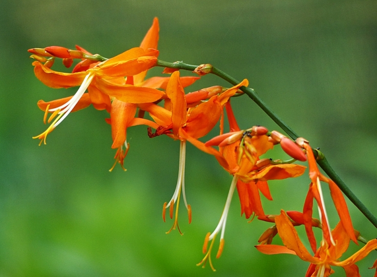 Flowering spray of Crocosmia aurea in KwaZulu-Natal garden