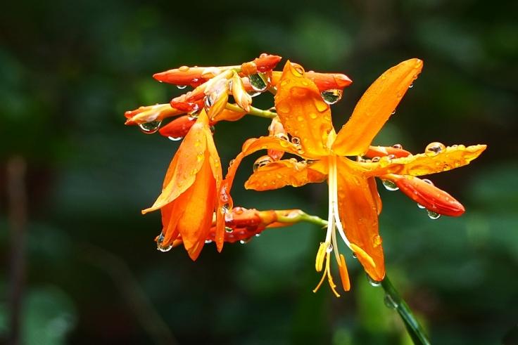 Falling stars flowering in KwaZulu-Natal garden