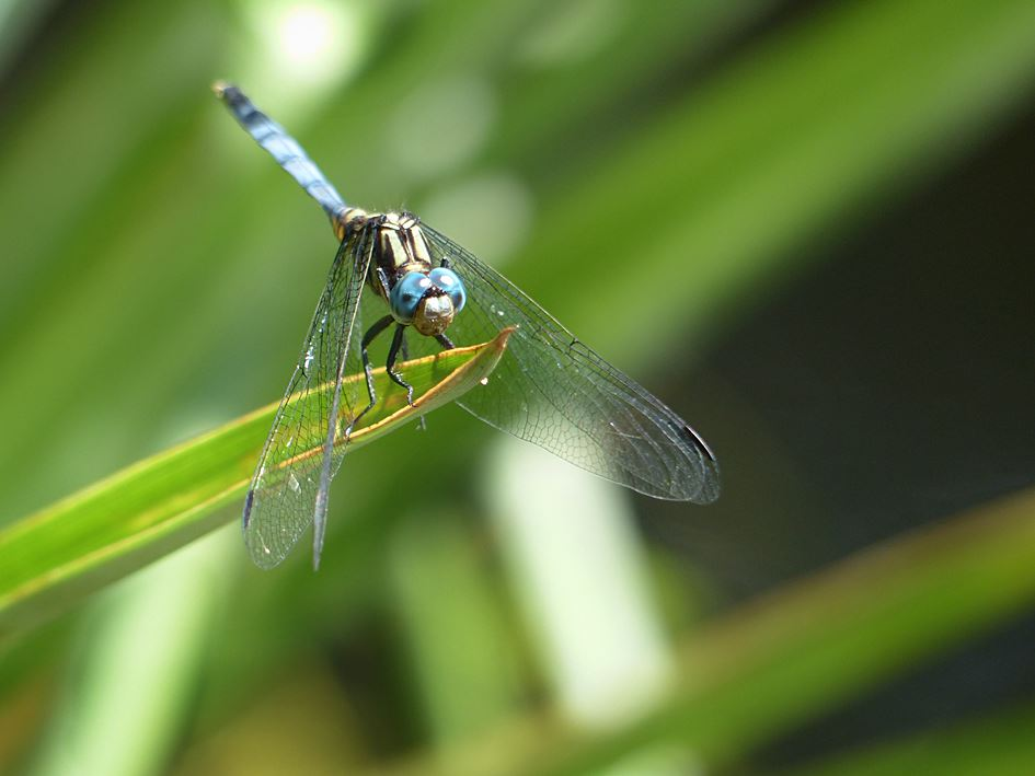 Dragonfly (Orthretrum julia falsum) perched on water plant in suburban garden pond in KwaZulu-Natal wildlife garden