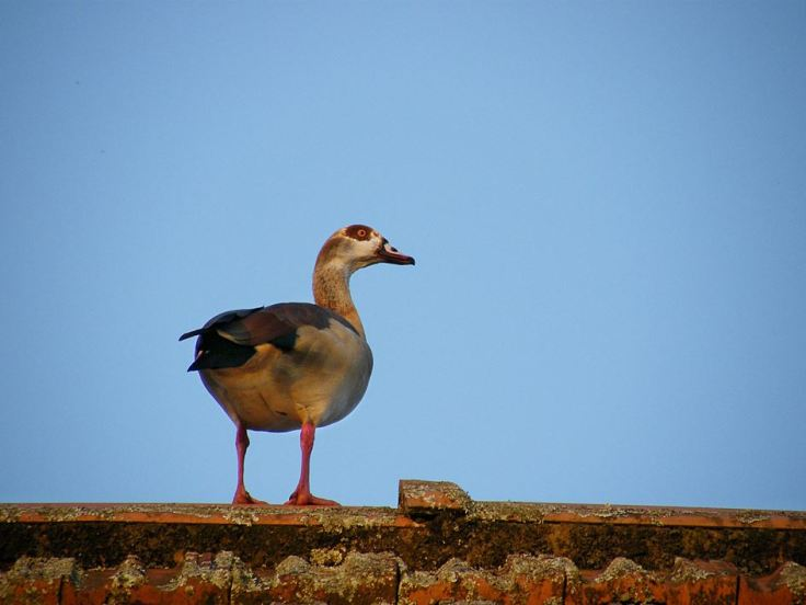 Egyptian-Goose-suburban-garden