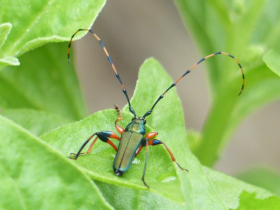 Longhorned beetle Evgenius plumatus
