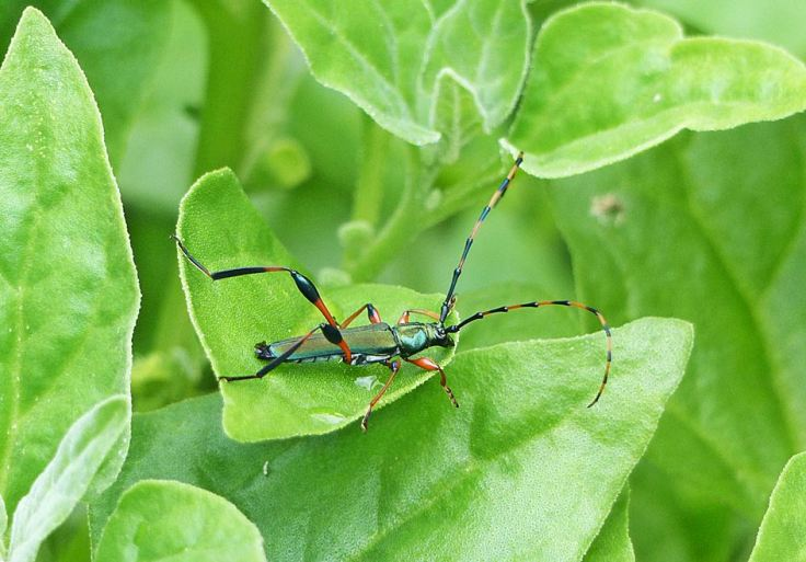 Longhorned beetle on New Zealand spinach