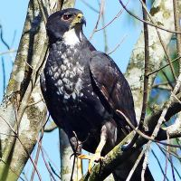 Black Sparrowhawks in urban areas: Where to now?