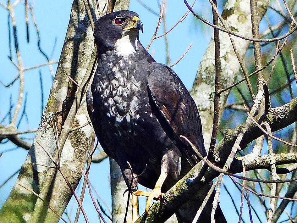 Black Sparrowhawk, black morph, in a suburban garden in KwaZulu-Natal