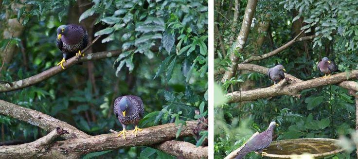 African Olive-Pigeon drinking at birdbath in suburban garden