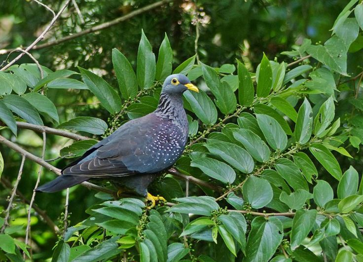 African Olive-Pigeon perched in Trema Orientalis, Pigeon Wood Tree