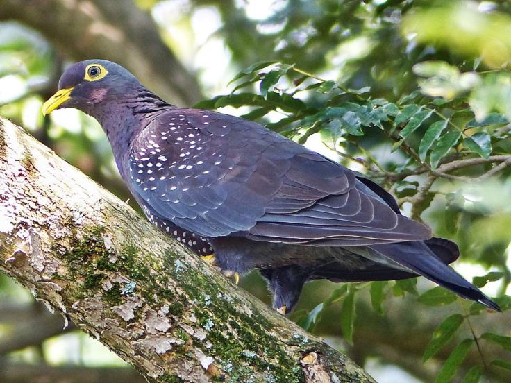 African Olive-Pigeon is a powerful bird