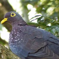 The forest-loving African Olive-Pigeon – a special garden visitor