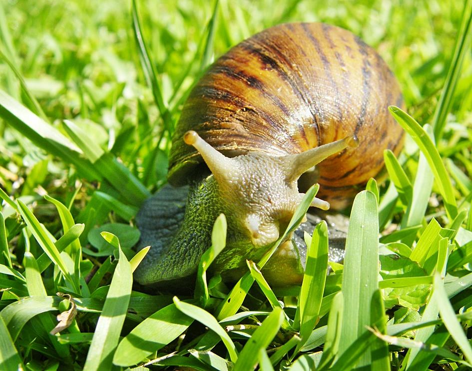 Cochilitoma granulate, Granular Agate snail