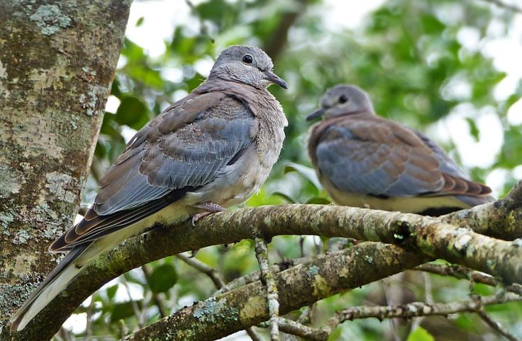 Vulnerable-Laughing-Doves