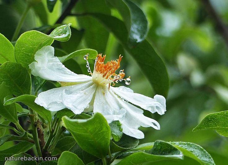 African-Dogrose-flower3