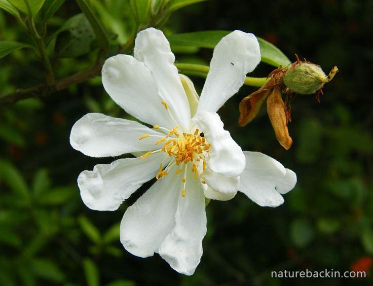 African-Dogrose-flower5