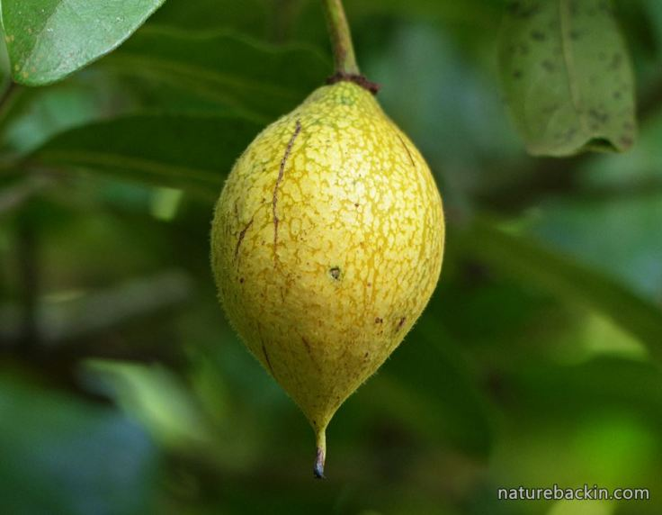 African-Dogrose-fruit-ripe