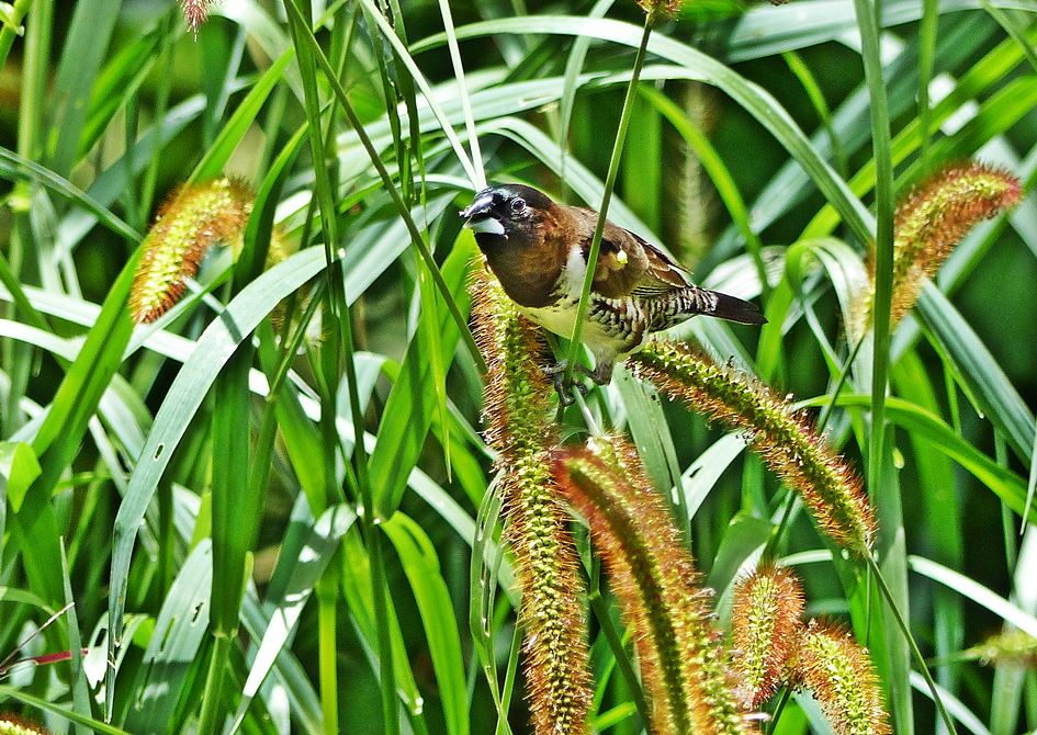 Bronze Mannikin eating seed of Golden Bristle Grass in suburban garden KwaZulu-Natal