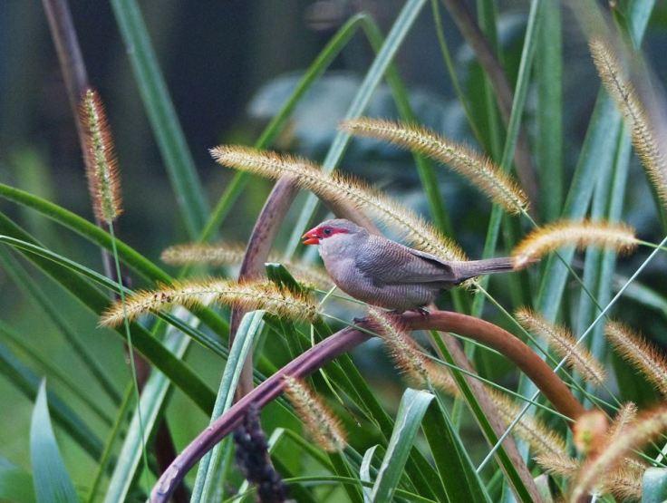 Common-Waxbill-grassland-garden
