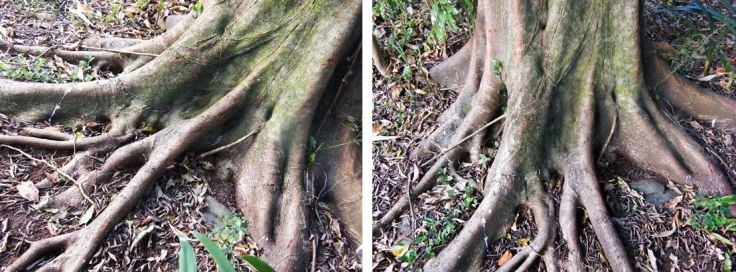 Roots of Natal Fig tree in suburban garden, KwaZulu-Natal