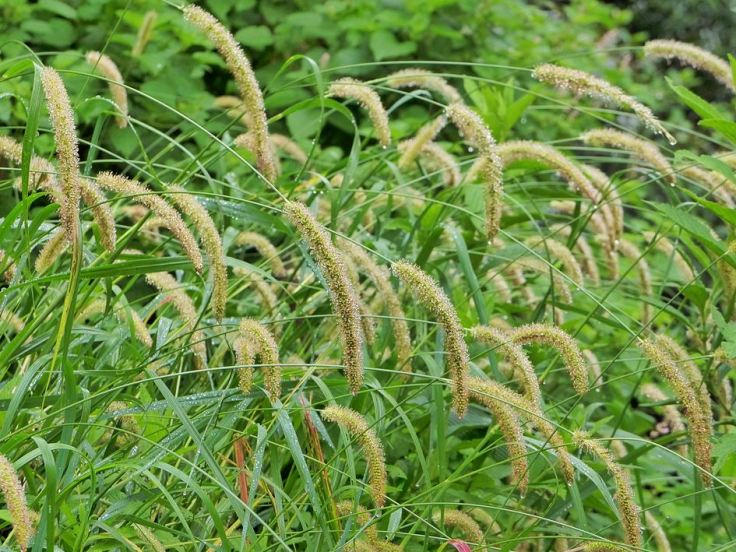 Golden-Bristle-Grass-after-rain