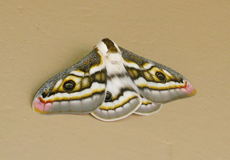 Southern-Marbled-Emperor-Moth