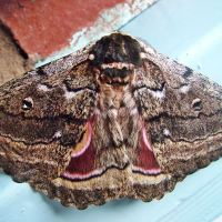 The Emperor (Moth) has new clothes