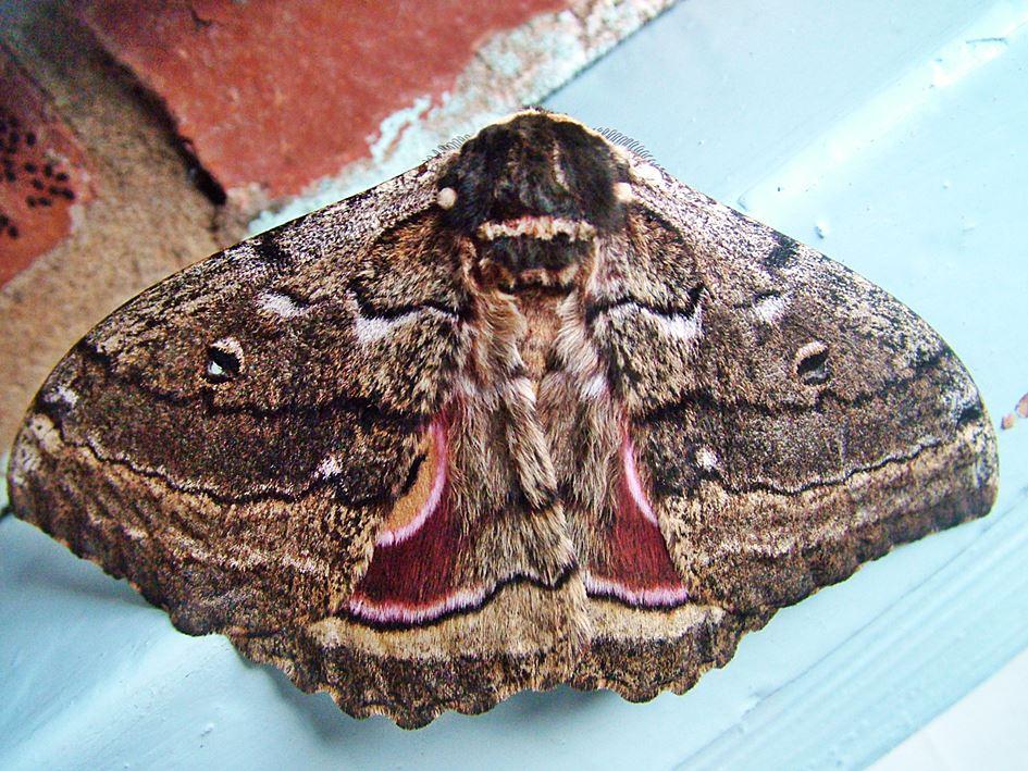Speckled Emperor Mothe (Gynanisa maja
