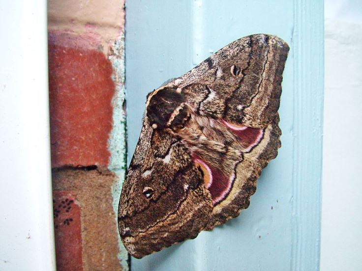 Speckled Emperor Moth eyespots,