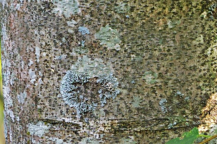 Textured bark and lichen on trunk of a Pigeon Wood tree