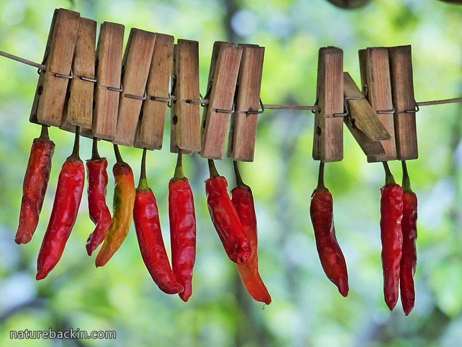 Drying hot chili peppers