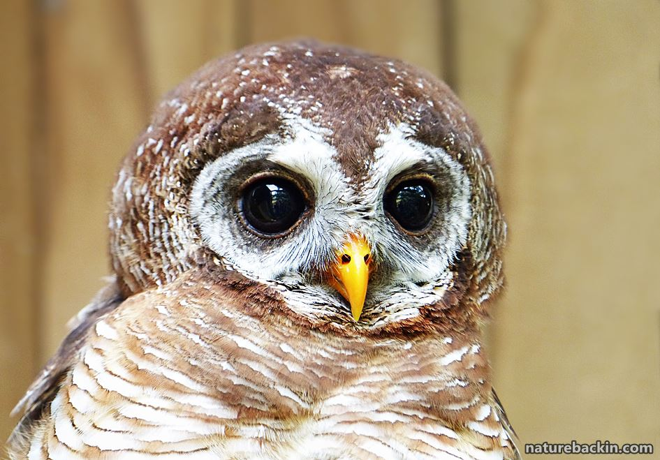 Wood owls, like other raptors, are vulnerable to poisoning by rodenticides (rat poisons)