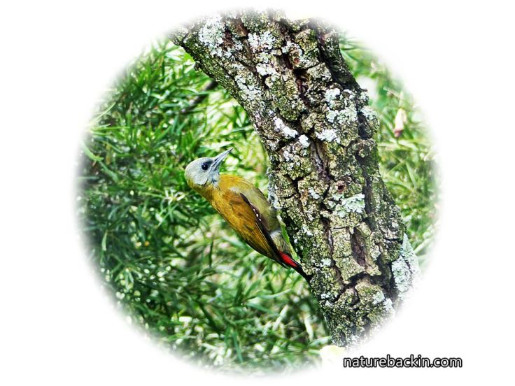 a Olive-Woodpecker-female-on-tree3