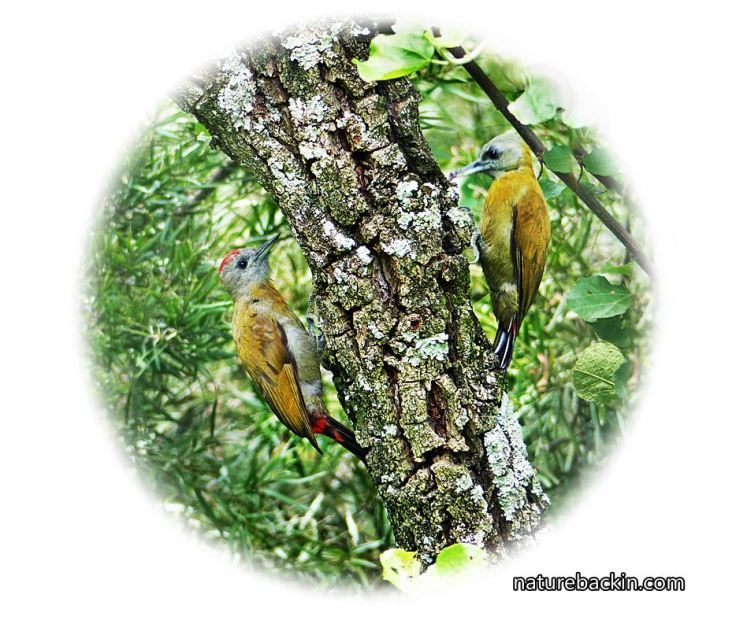 a Olive-Woodpecker-pair-on-tree