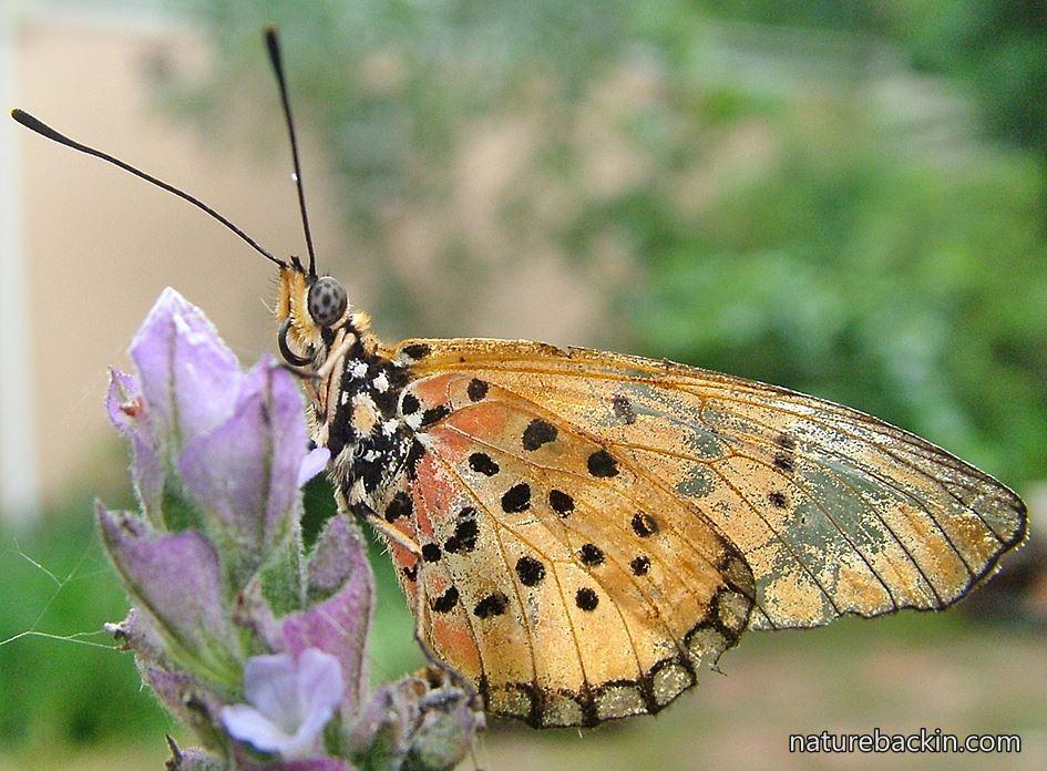 Natal acrea butterfly on flower