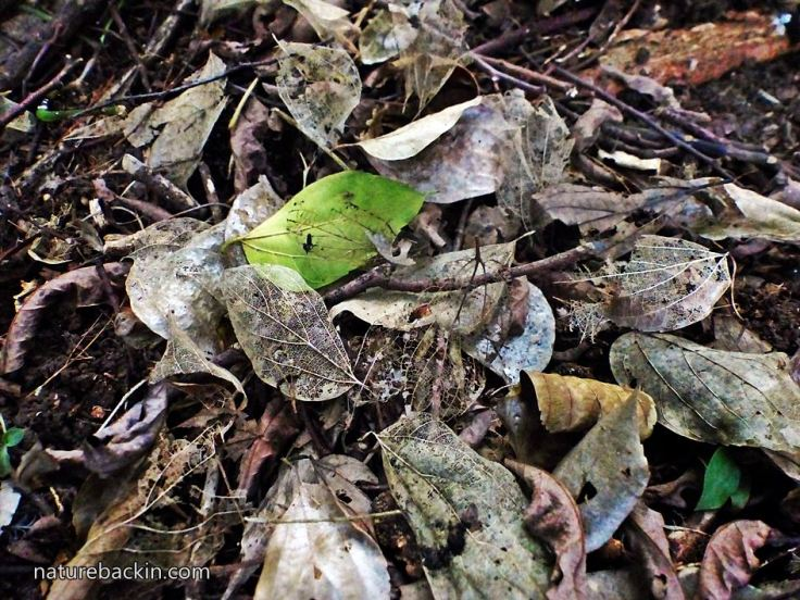 Fallen-leaves-understorey