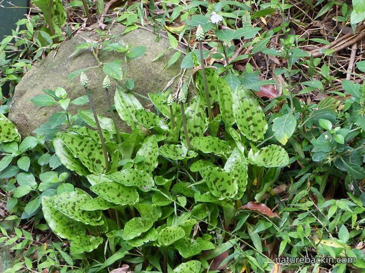 Groundcover-plants-understorey