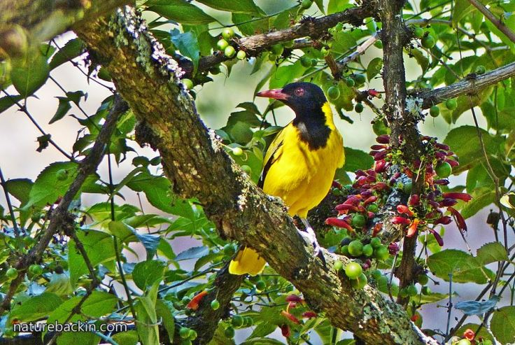 Halleria-lucida-Black-headed-Oriole